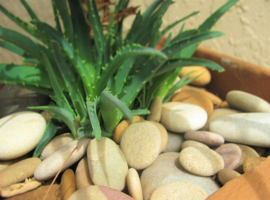 7 household plants that clean the air of harmful toxins-aloe-vera