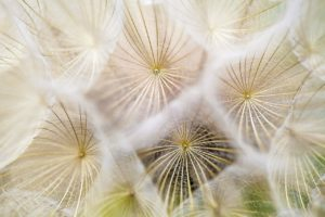 5 ways to alleviate seasonal allergy symptoms-pollen-dandelions