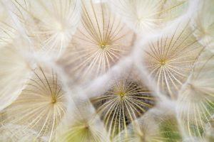 5 ways to alleviate seasonal allergy symptoms-pollen-dandelions